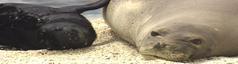 BWF MAST5 Monk seal mother with newborn pup Photo Michael Harris